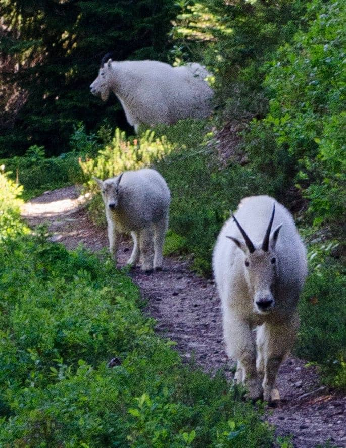 Mountain Goats near Mount Olympus Washington