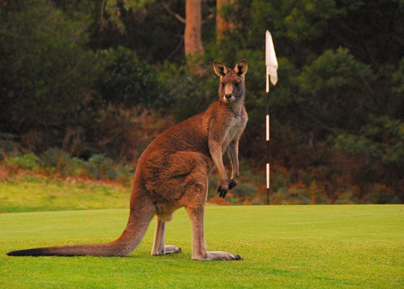 Anglesea golf club kangaroo tour