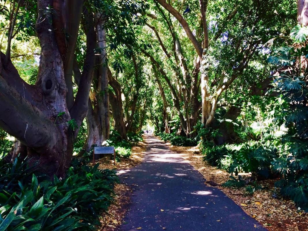 Murdoch Avenue Moreton Bay Fig Trees SA Botanic Gardens