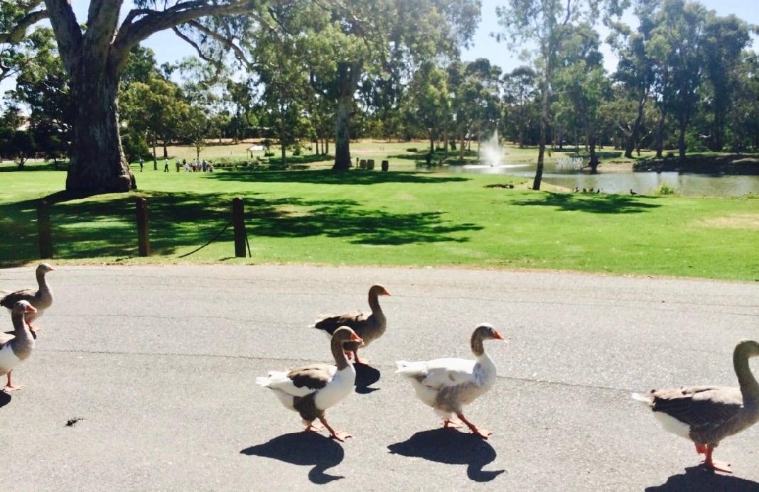 McLaren Vale Geese Serafino Wines South Australia