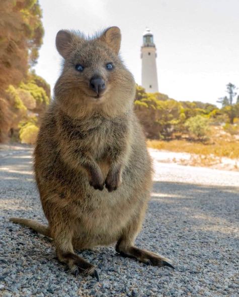Rottnest Island Quokkas Western Australia