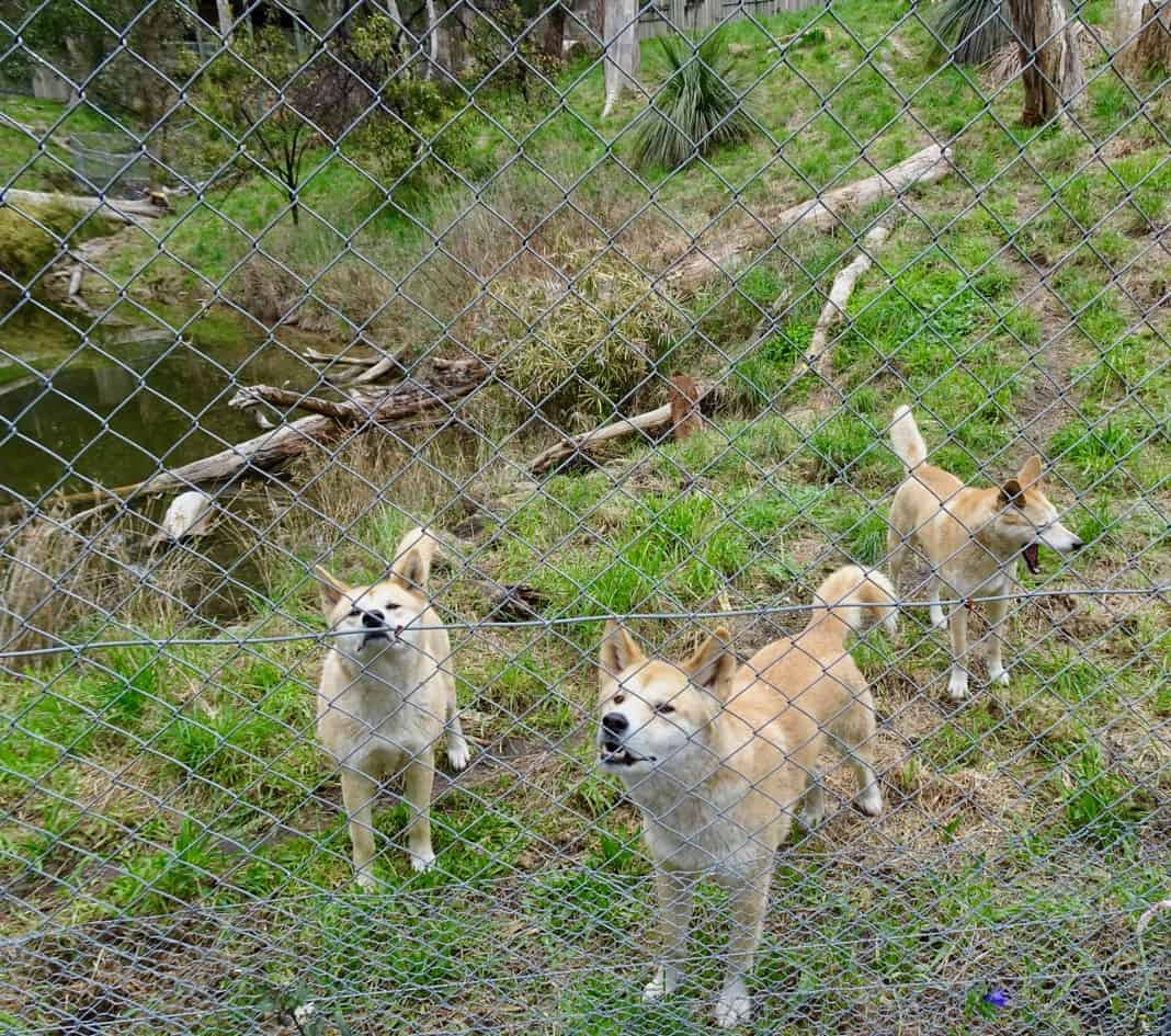 Cleland Conservation Park Dingoes