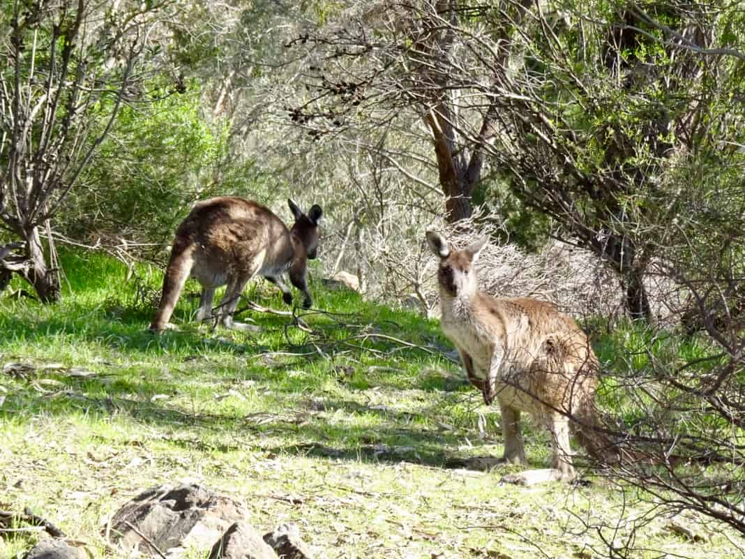 Kangaroos in Anstey Hill Recreation Park