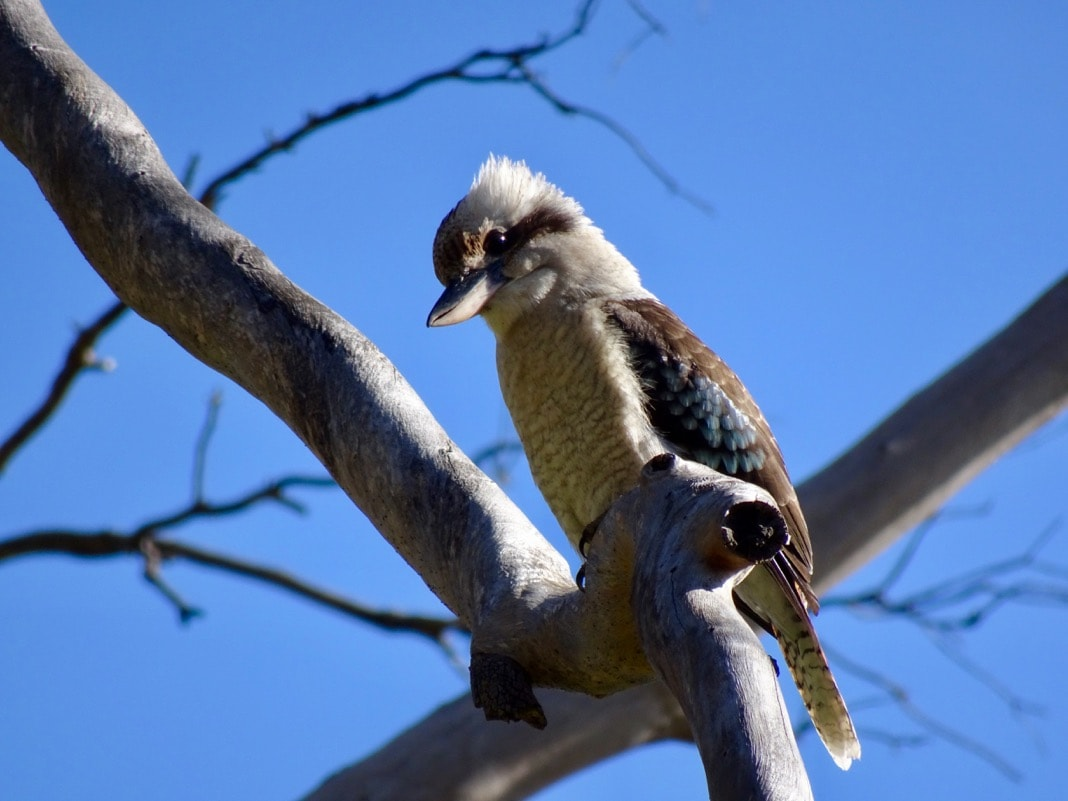 Kookaburra bird in tree