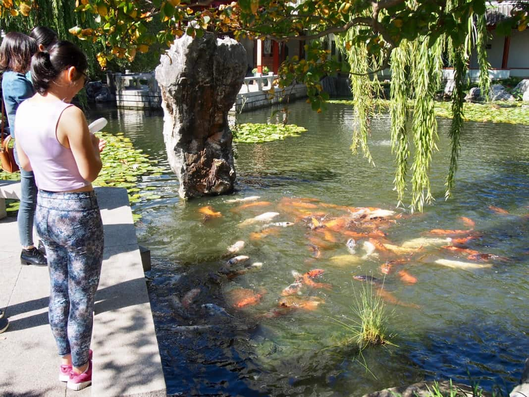 Chinese Garden of Friendship Fish feeding time