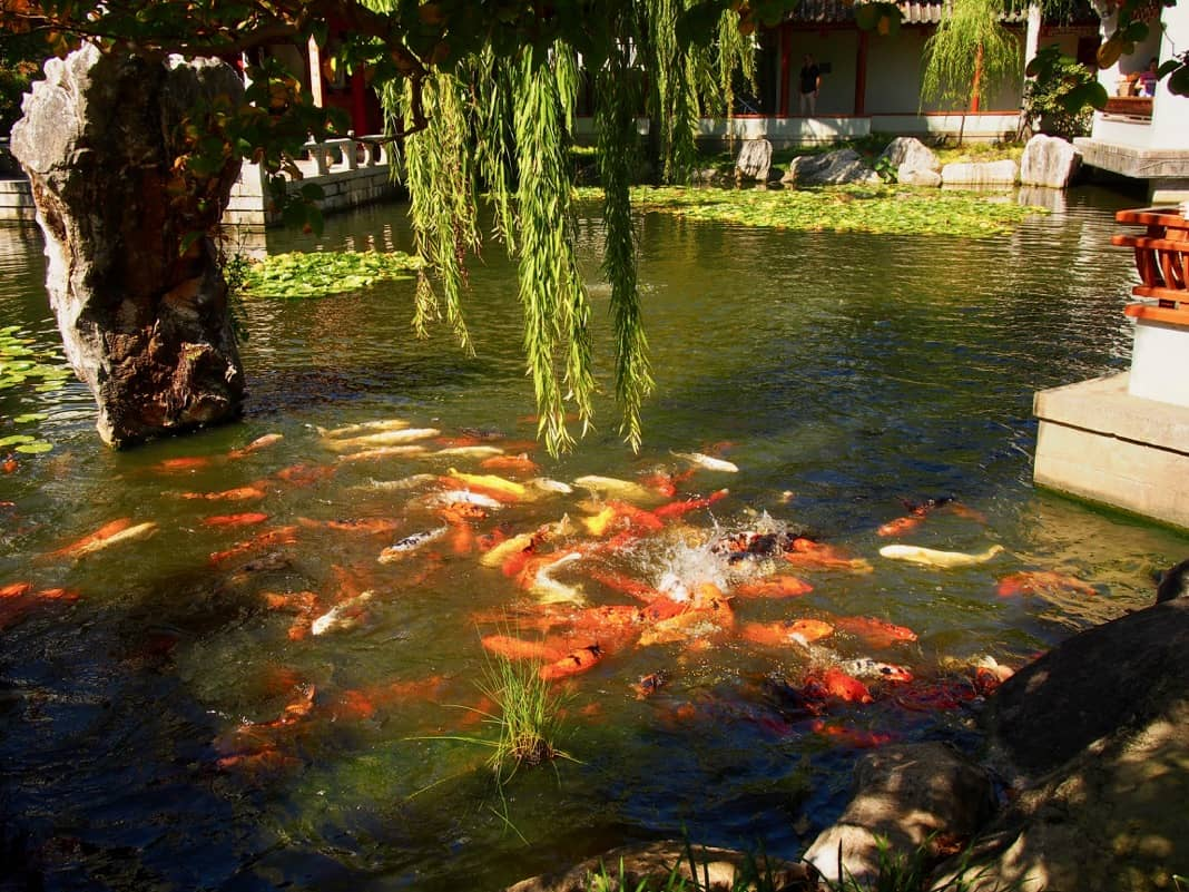 Fish Feeding Time Chinese Garden of Friendship