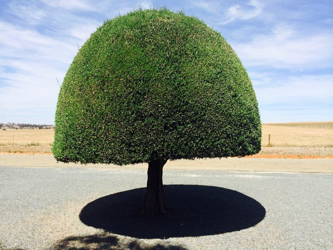Manicured tree Mintaro